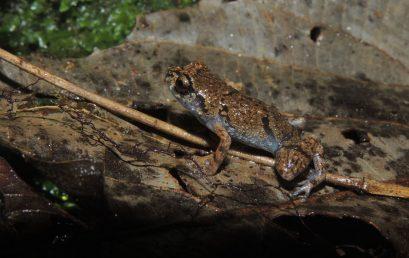 Talamanca le revela al mundo una nueva especie de rana